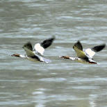 Common Merganser : Gorumara