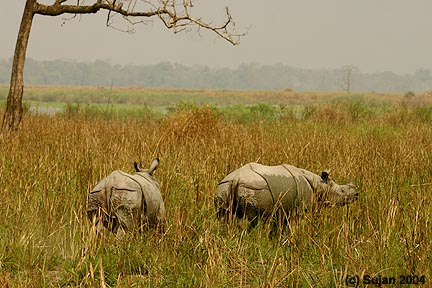 Rhinos of Kaziranga National Park, Assam, India